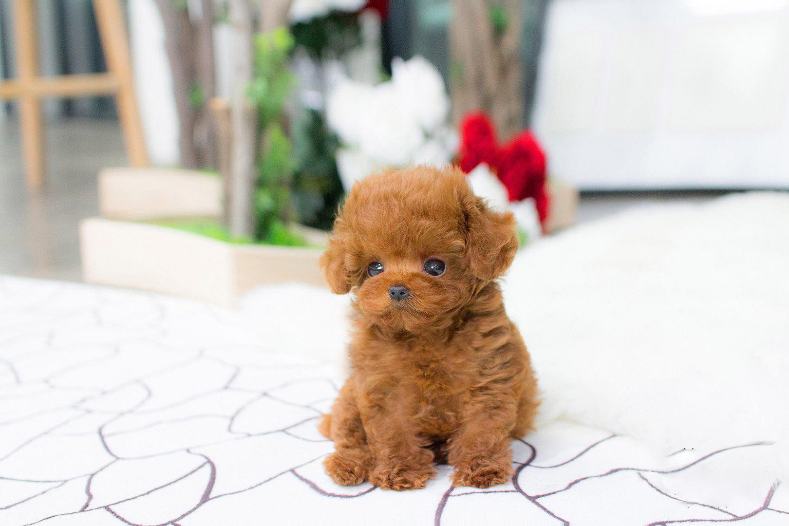 Bridget Micro Poodle for Sale