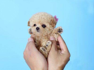Minnie CreamMicro Poodle