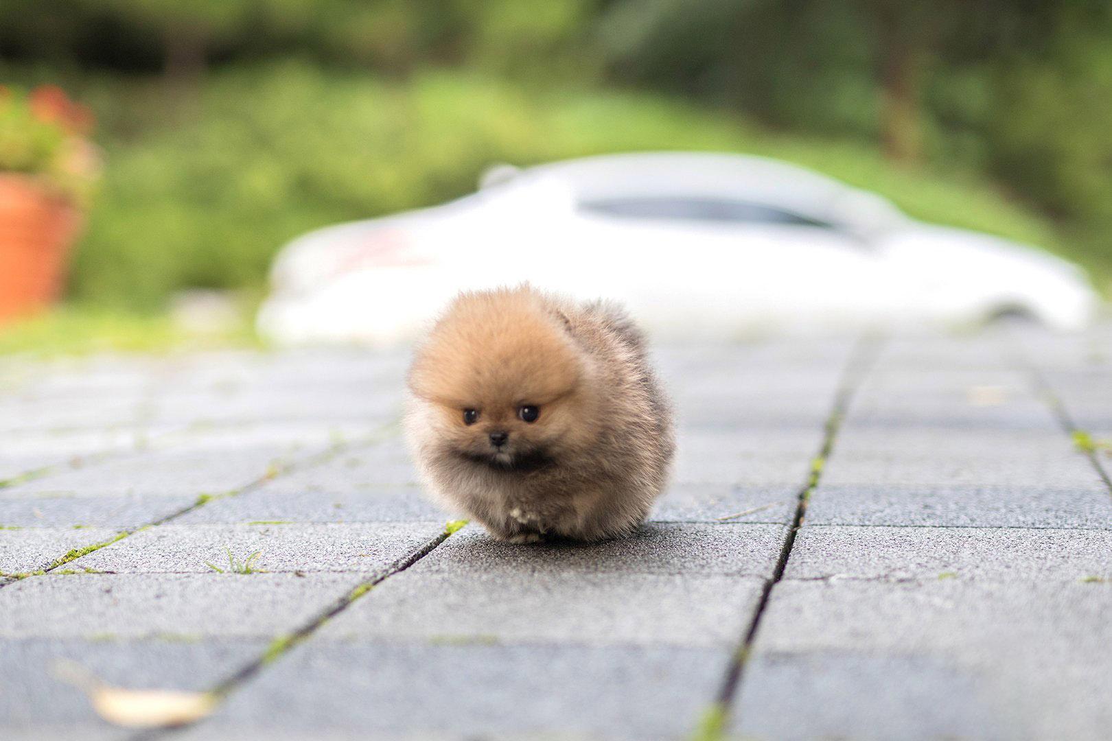 Benji  Micro Pomeranian for Sale