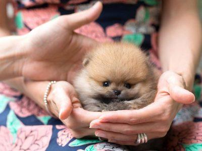 Benji  ClassicMicro Pomeranian