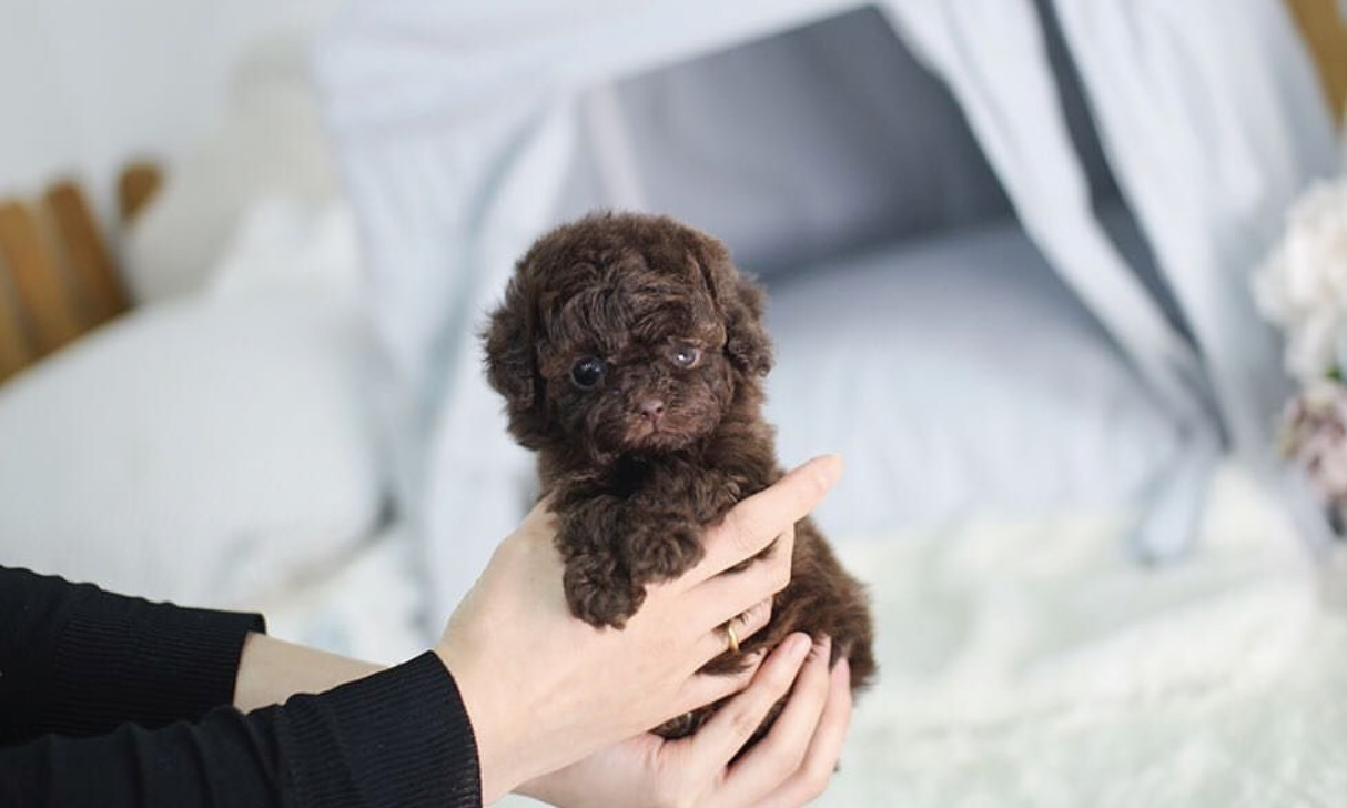 Chocoholic Micro Poodle for Sale
