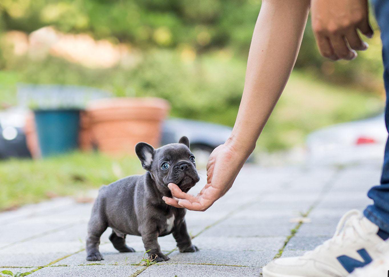 Hulk Teacup French Bulldog for Sale