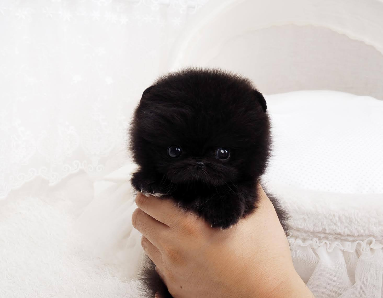 Nedd Micro Pomeranian for Sale