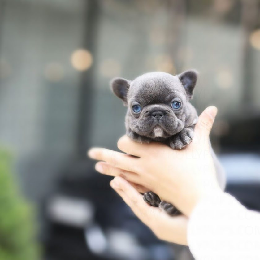 Itsy Teacup French Bulldog for Sale