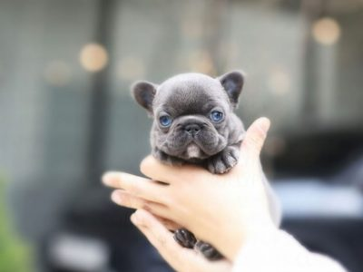 Itsy BlueTeacup French Bulldog