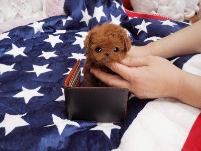Jefferson ApricotMicro Poodle