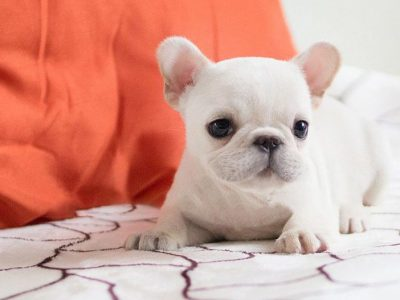 Molly WhiteTeacup French Bulldog