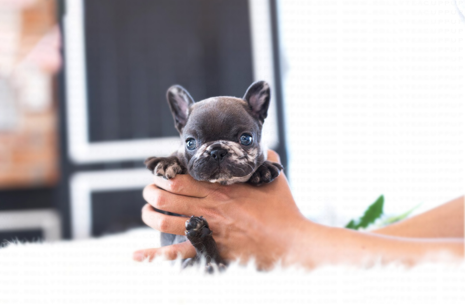 Opal Teacup French Bulldog for Sale