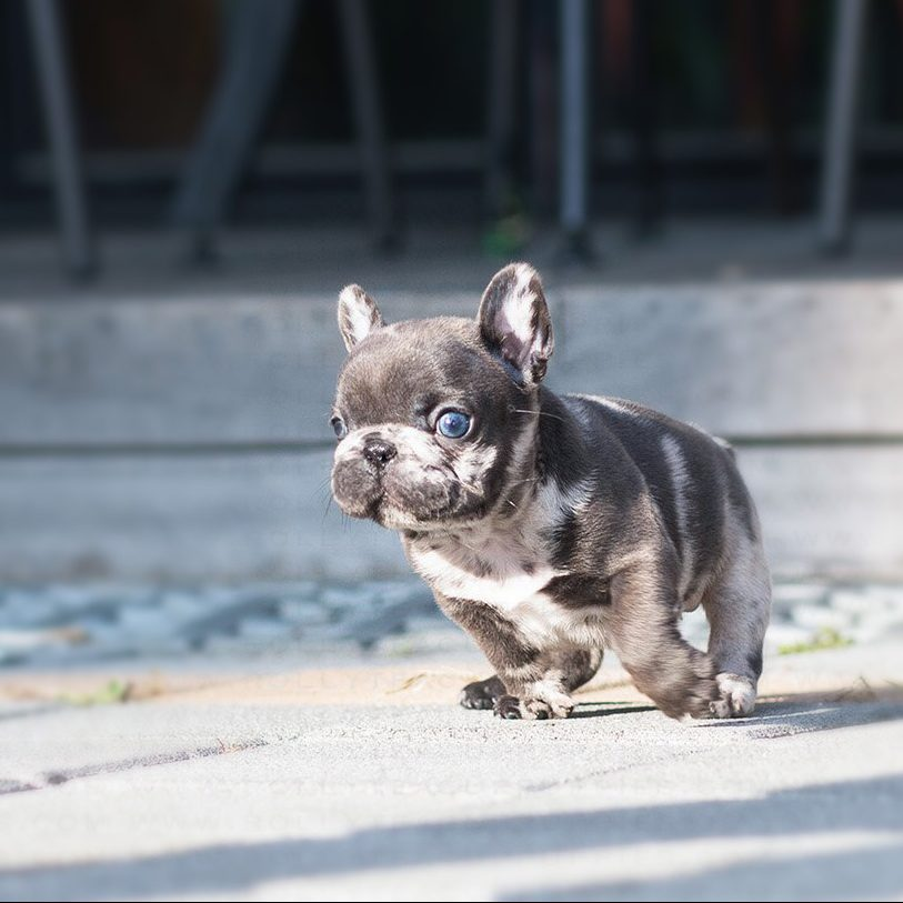 Opal Teacup French Bulldog for Sale