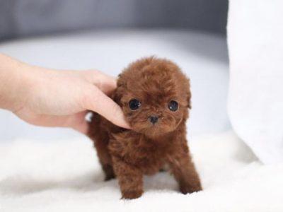 Peony RedMicro Poodle