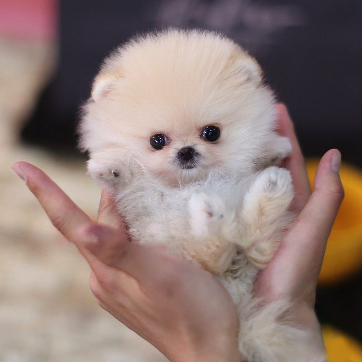 Pixie Micro Pomeranian for Sale