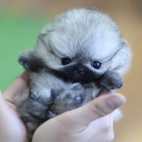 Venus Micro Pomeranian for Sale