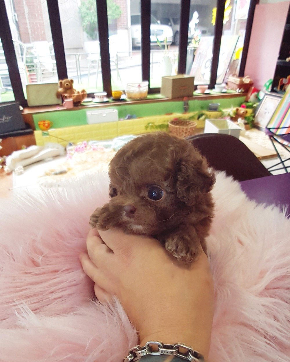 Toffee Micro Poodle for Sale