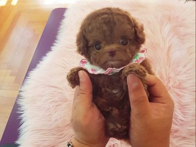 Toffee RedMicro Poodle