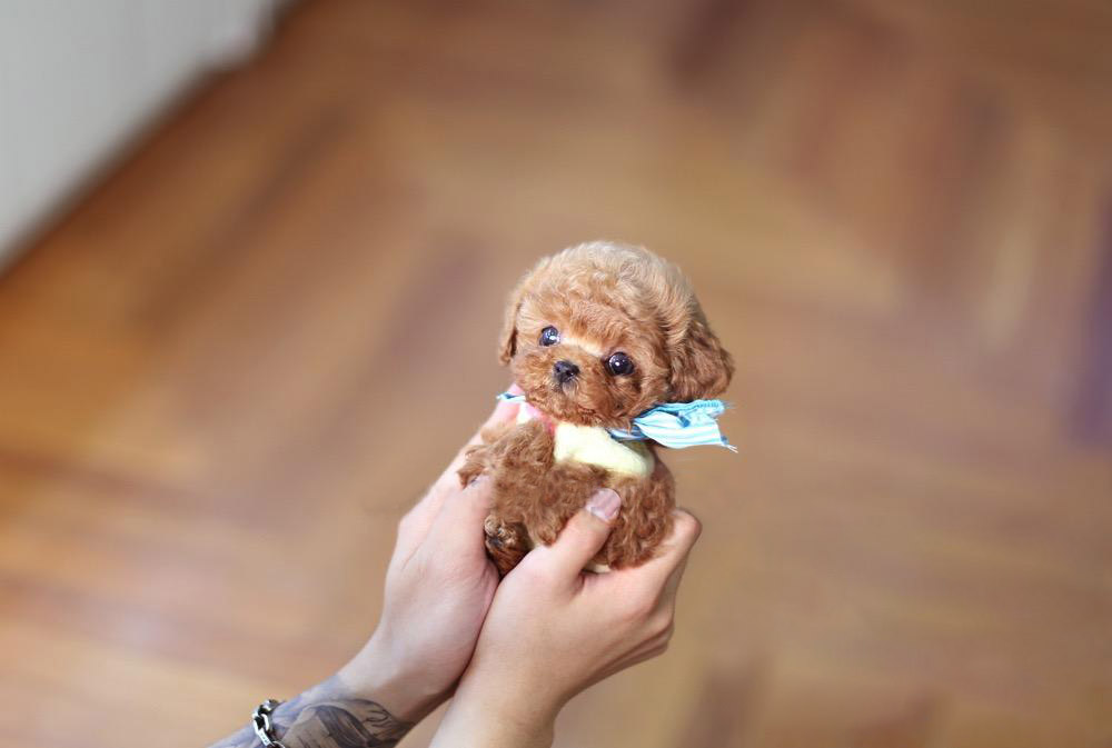 Bae Micro Poodle for Sale
