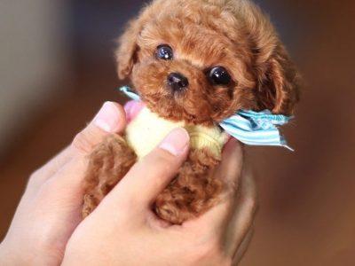 Bae RedMicro Poodle