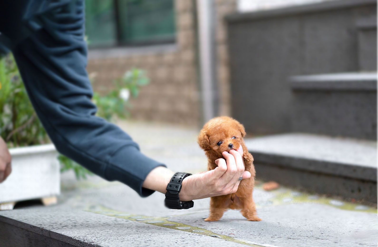 Remy Micro Poodle for Sale