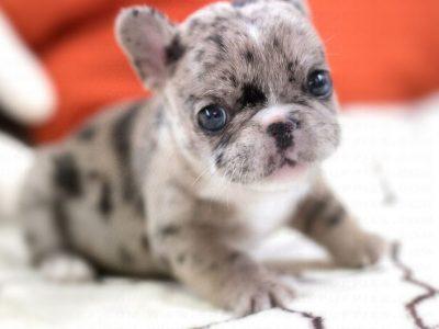 Rolly MerleTeacup French Bulldog