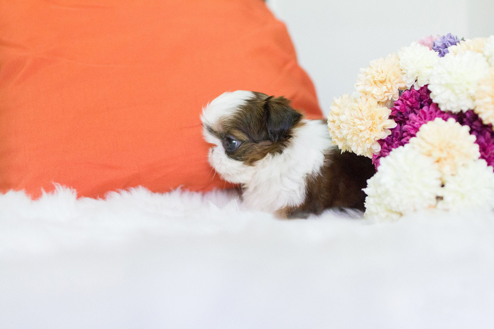 Fiona  Teacup Shih Tzu for Sale