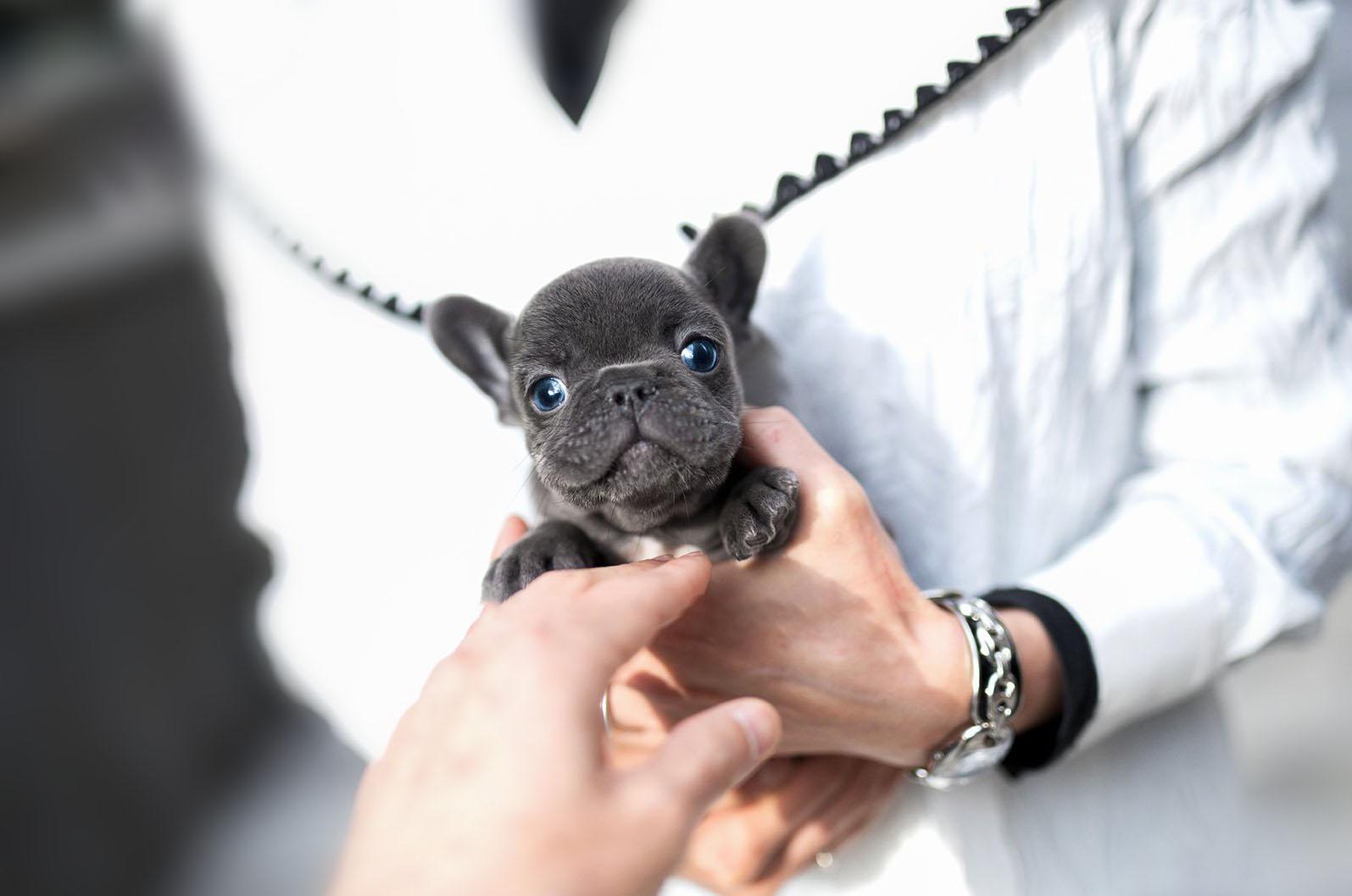 Smokey  Teacup French Bulldog for Sale
