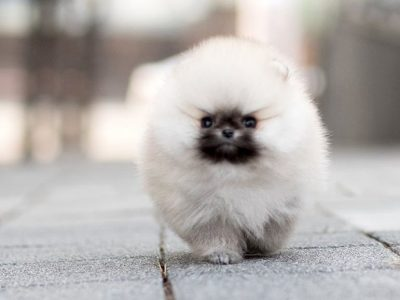 Teddy WhiteMicro Pomeranian