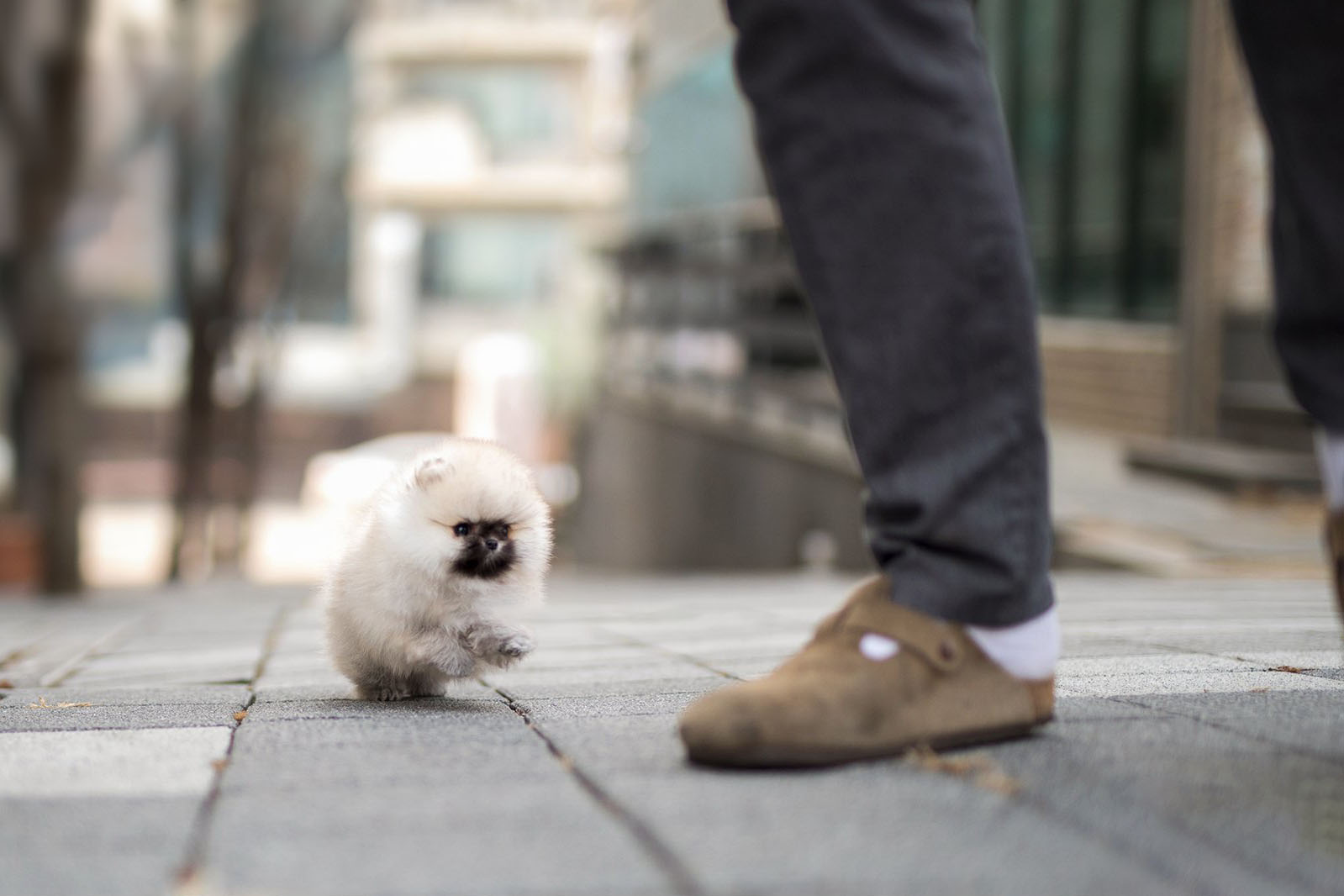 Teddy Micro Pomeranian for Sale