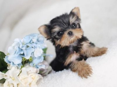 Yale Black and TanMicro Yorkie
