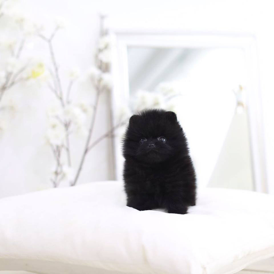 Nate Micro Pomeranian for Sale