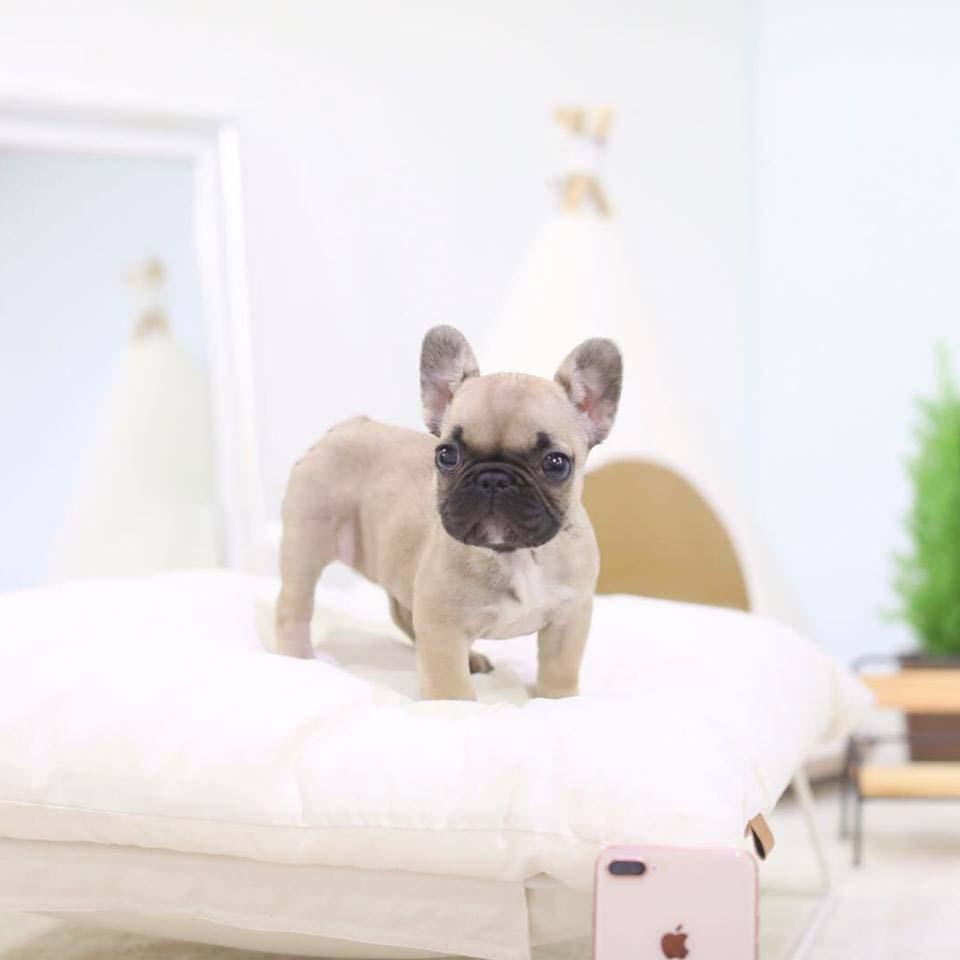 Fabio Teacup French Bulldog for Sale
