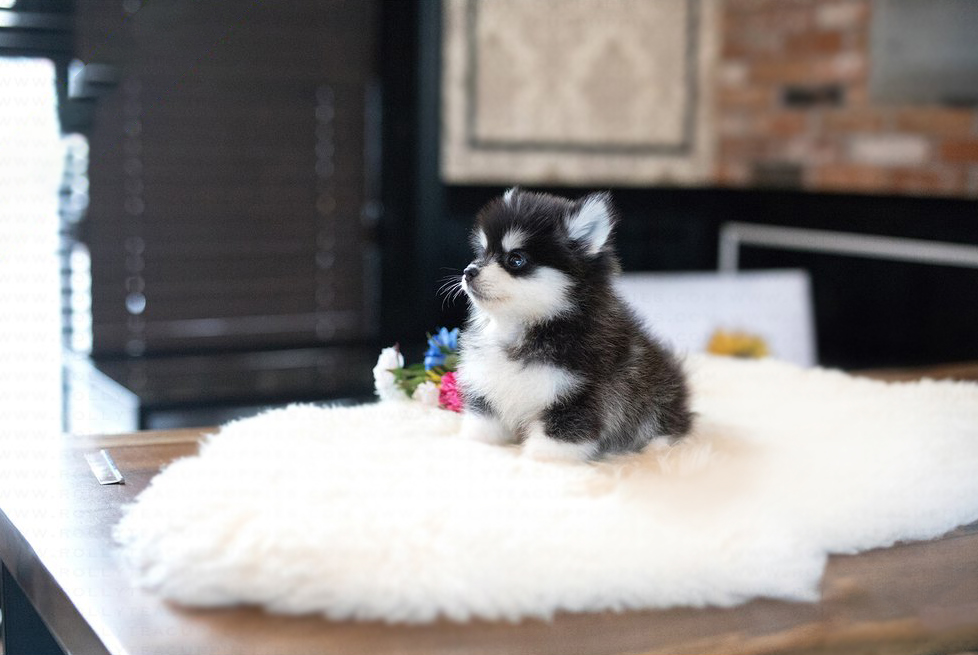 Happy Teacup Pomsky for Sale