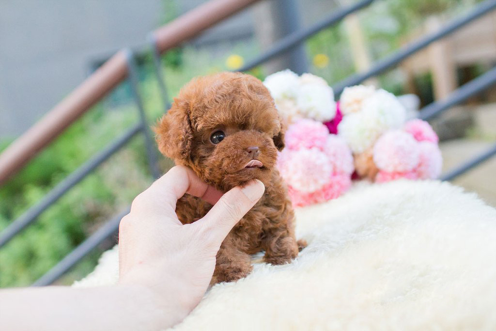 Siblings Micro Poodle for Sale