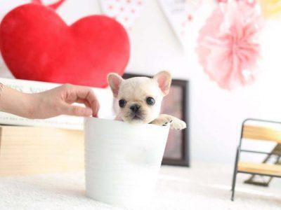 Fenty CreamTeacup French Bulldog