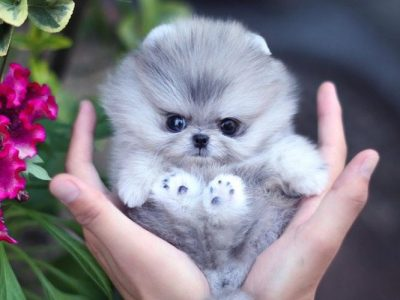 Cuddles BlueMicro Pomeranian