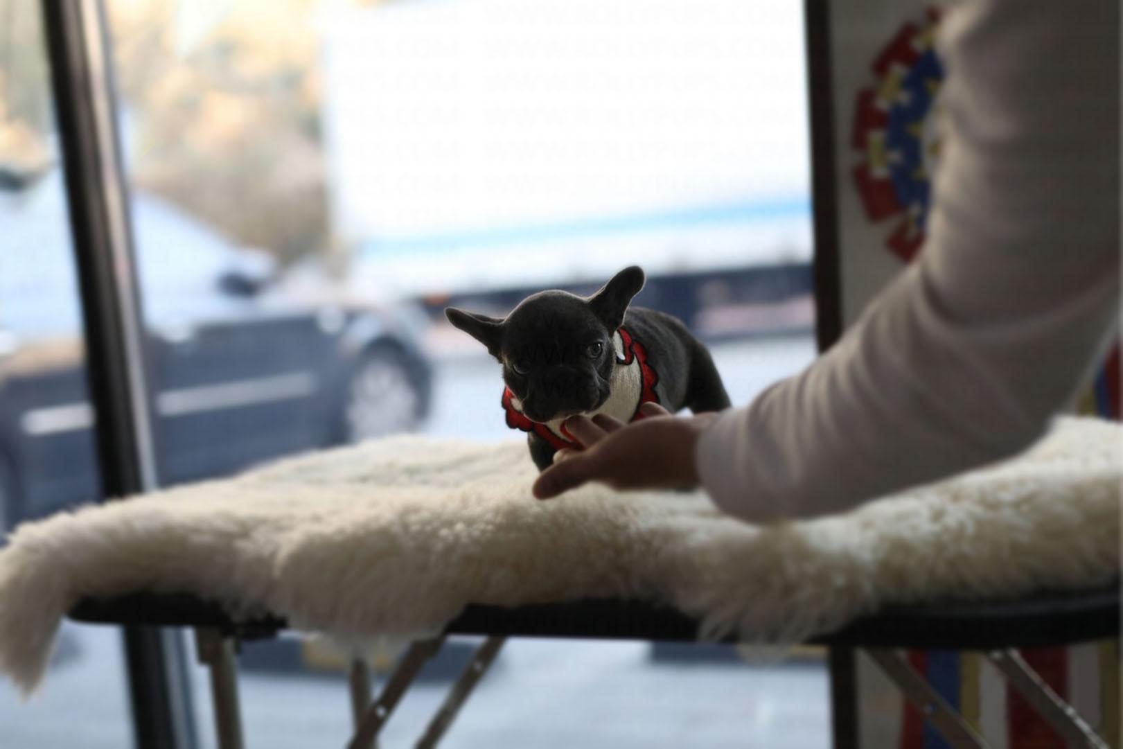 Aloha Teacup French Bulldog for Sale