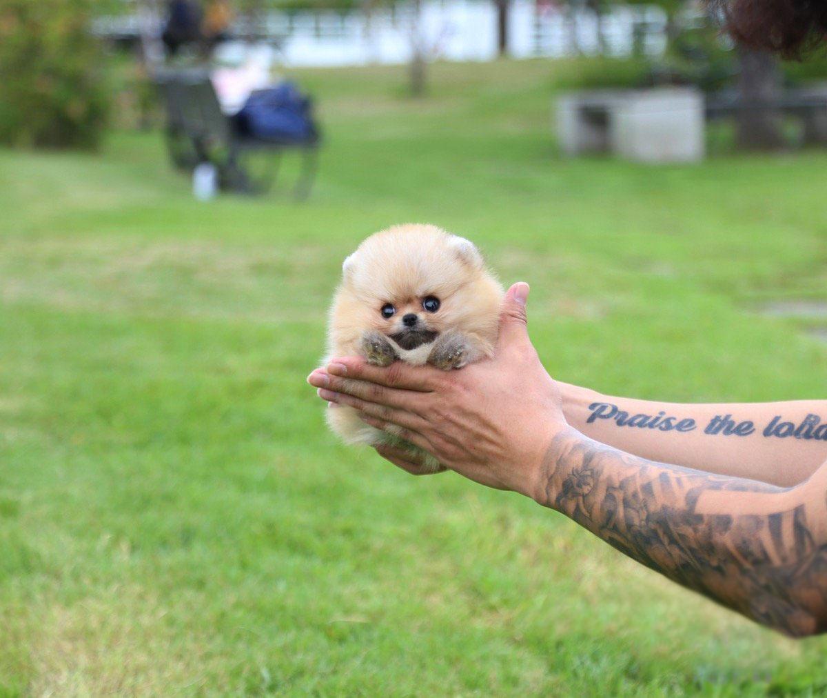 Honey Micro Pomeranian for Sale