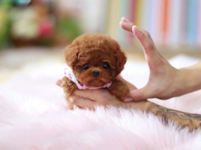 Rouge RedMicro Poodle