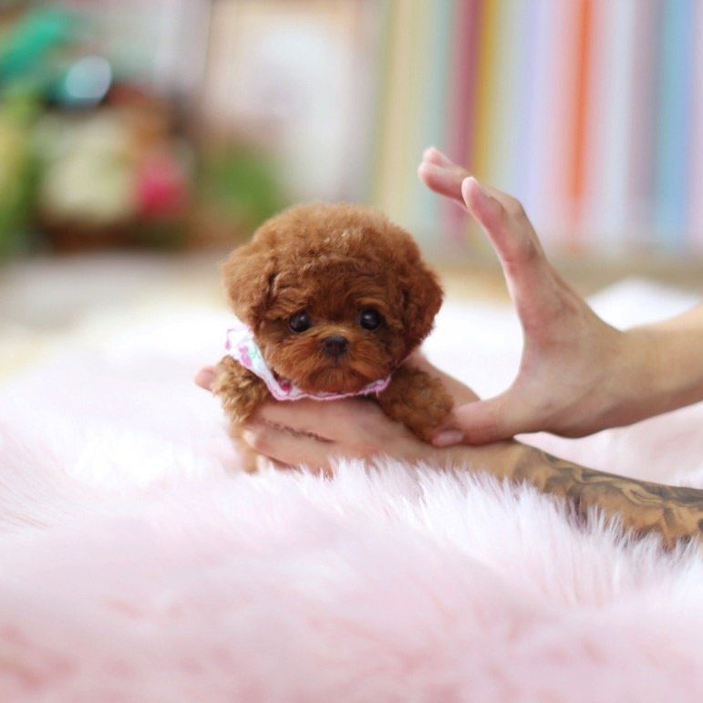 Rouge Micro Poodle for Sale