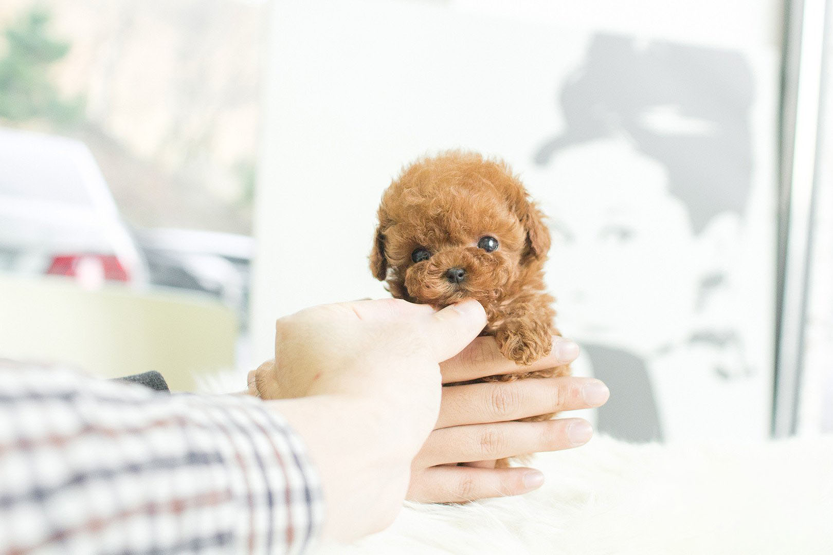 Kim Micro Poodle for Sale