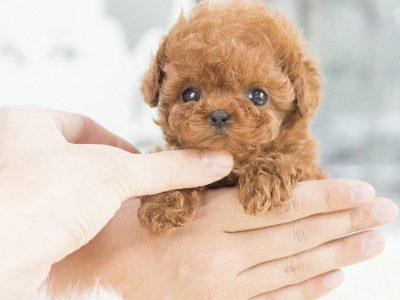 Kim RedMicro Poodle