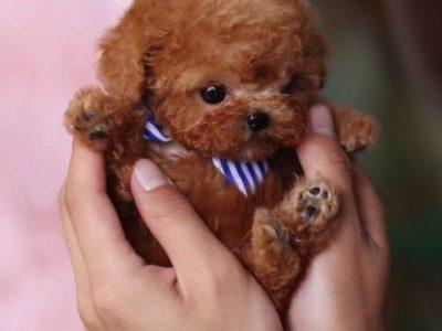 Kalvin RedMicro Poodle