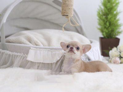 Cassie CreamMicro Chihuahua