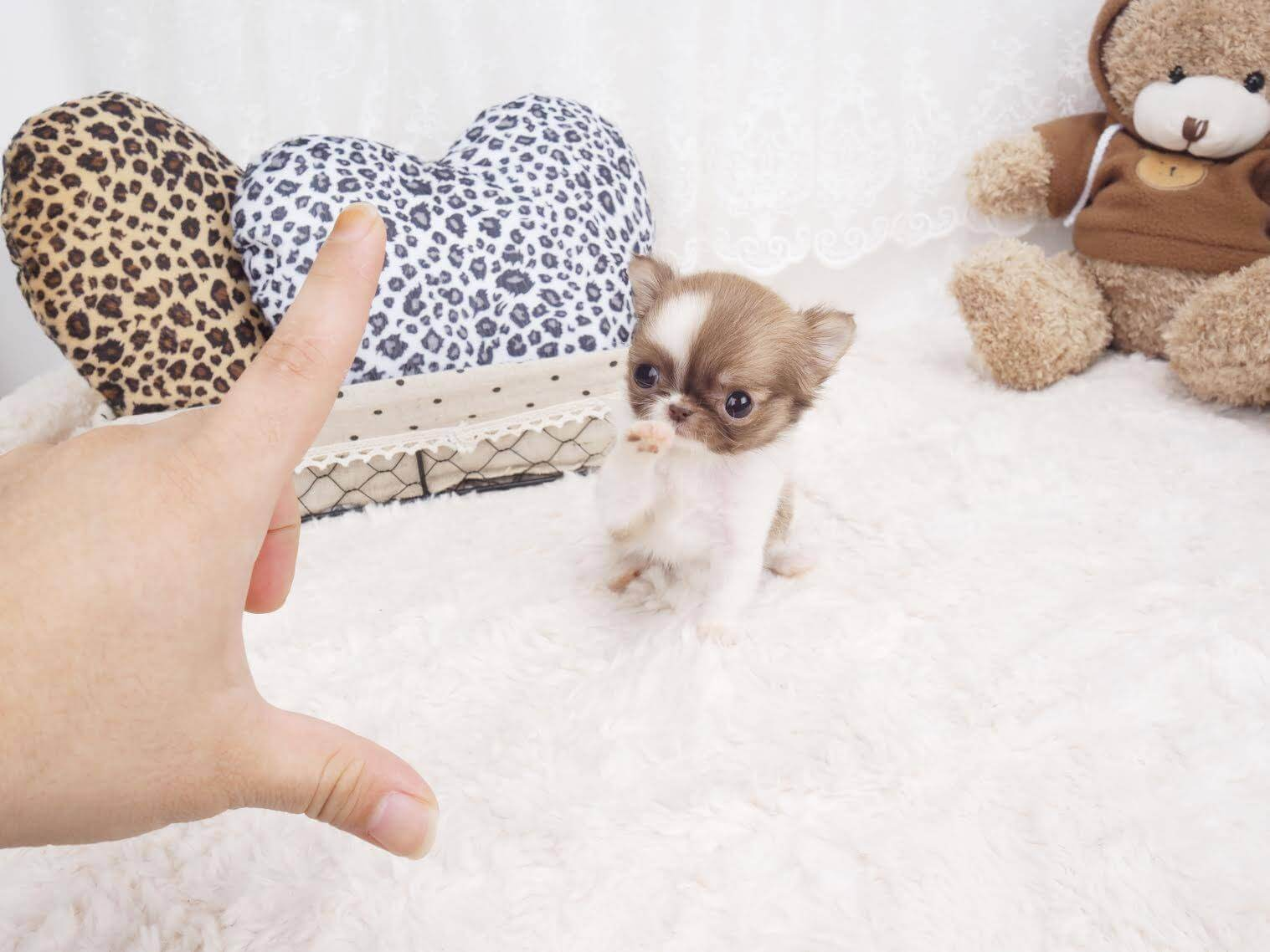 Cinnamon Micro Chihuahua for Sale