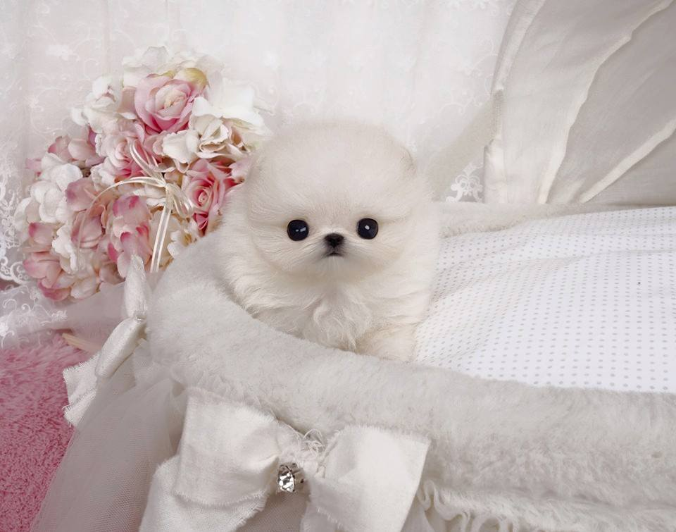 Natalie Micro Pomeranian for Sale