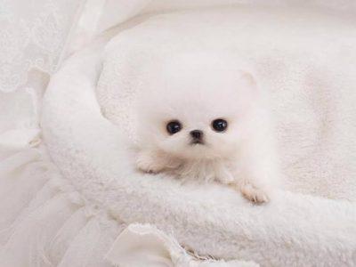 Noodles WhiteMicro Pomeranian