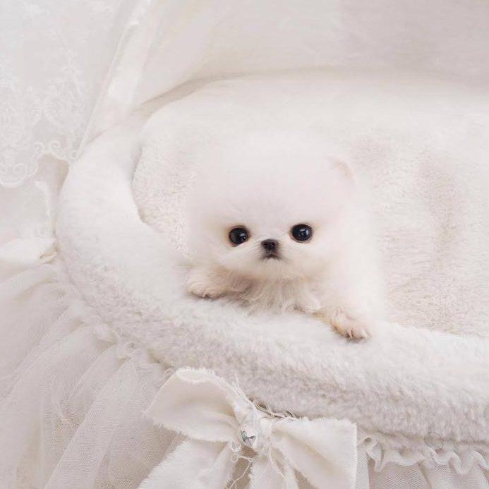 Noodles White Micro Pomeranian