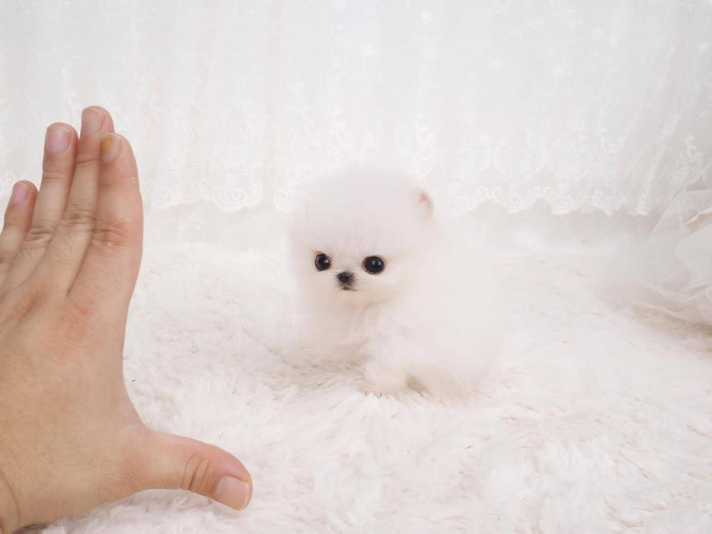 Noodles Micro Pomeranian for Sale