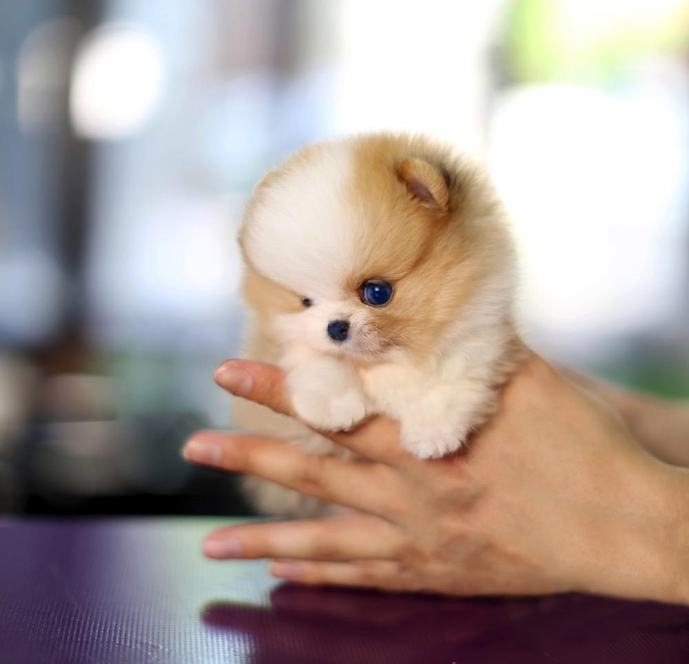 Aurae Micro Pomeranian for Sale