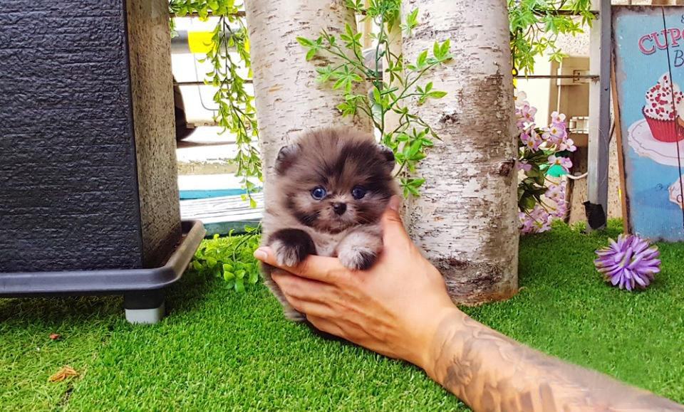 Acai Micro Pomeranian for Sale