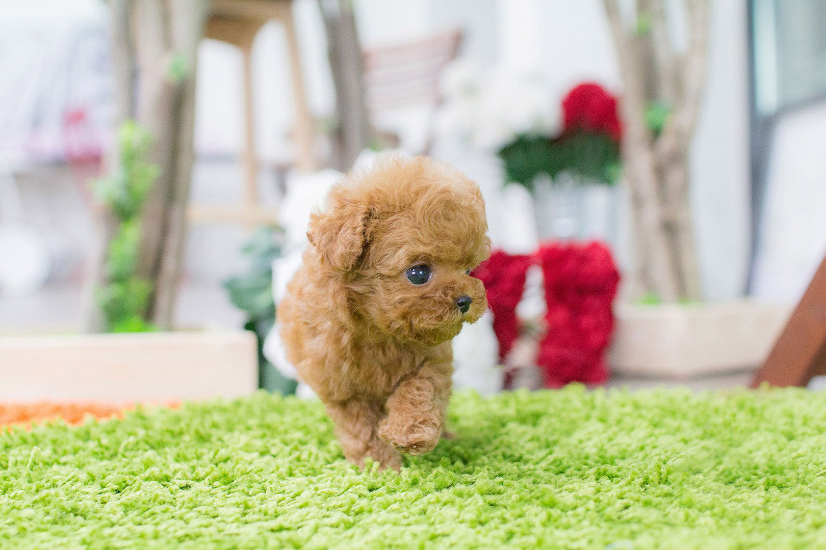 Bambi Micro Poodle for Sale