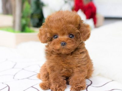 Bridget RedMicro Poodle